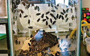 Flies on an object in a glass box for observation