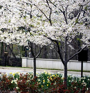White flowering trees