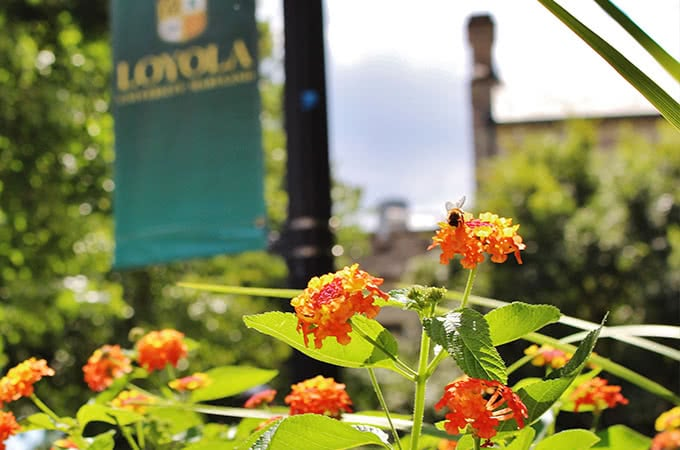 A bee on yellow and orange flowers, with a Loyola banner in the background