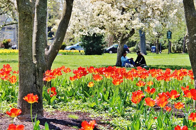Red tulips and visitors at Sherwood Gardens