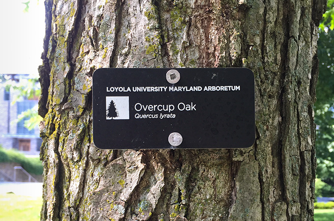 An overcup oak tree on campus.