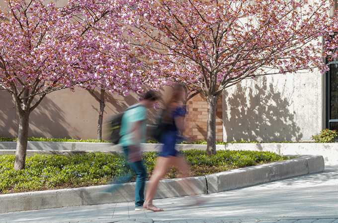 Students walk underneath a cherry blossom tree in full bloom.