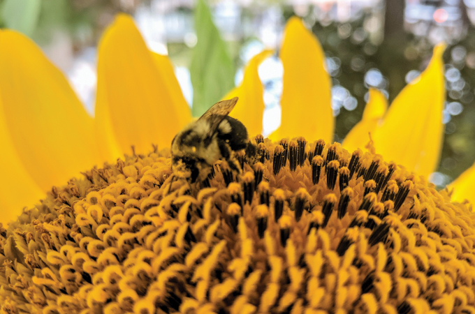 A bee rests on a sunflower at Sherwood Gardens.