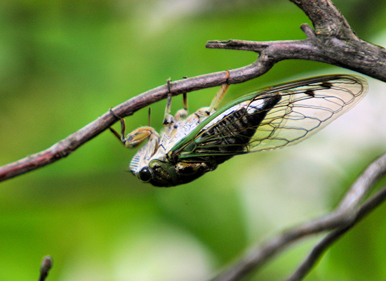 Cicada walking upside-down on a tiny branch.