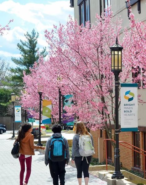 Cherry blossoms blooming with students walking
