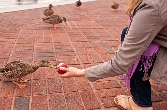 A duck approaches an apple being held by a student crouching down