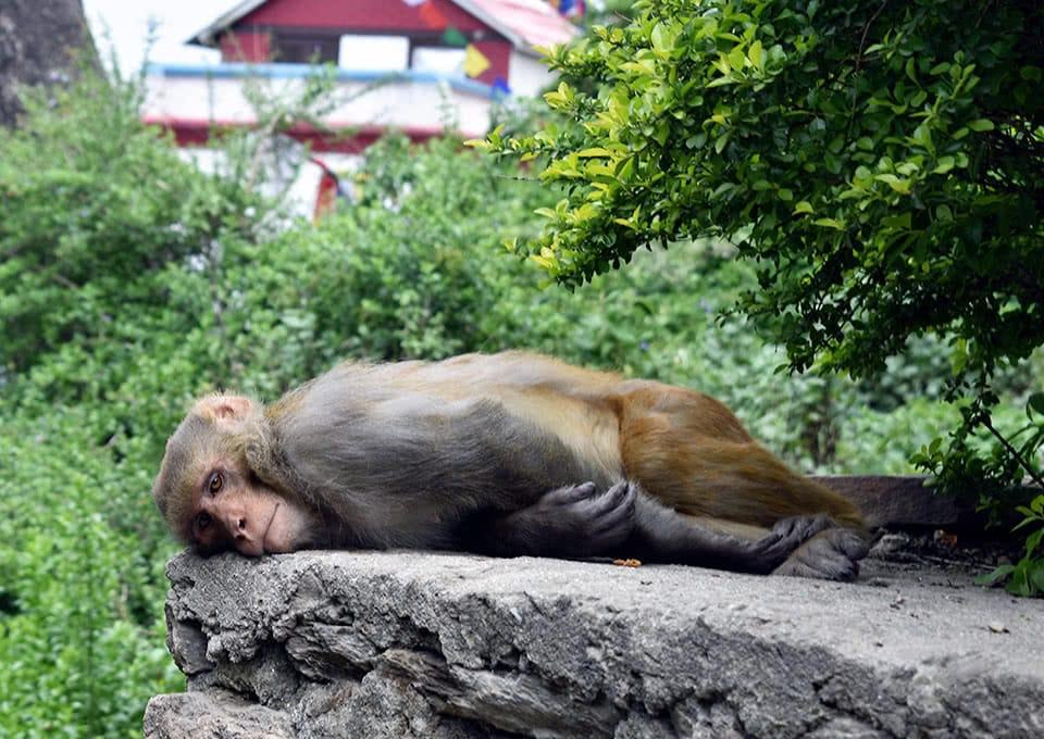 A monkey lays on a rock