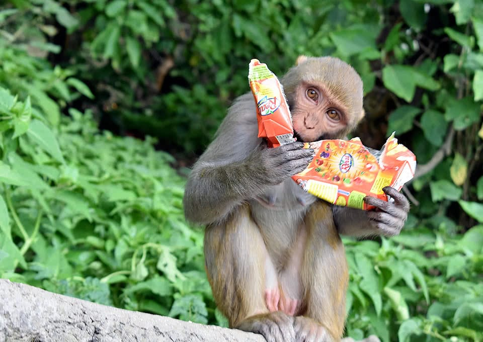 A monkey drinking from a torn-apart juice box
