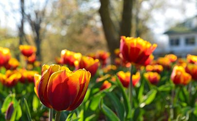Closeup shot of a garden of red and orange tulips on a bright and sunny day