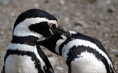 Two penguins with black and white stripes rubbing their beaks on each other